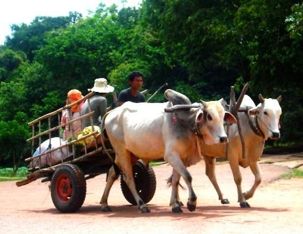 Sabai Adventures Cambodia - Ox cart countryside