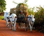 Cambodia Siem Reap Angkor tours activities countryside ox