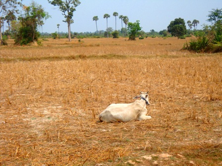 cow dry season cambodia siem reap