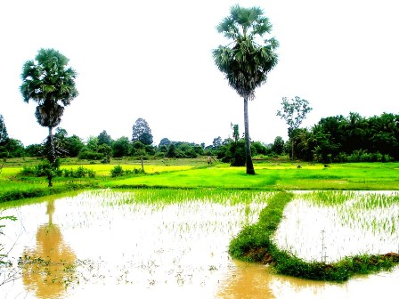 rice fieds cambodia