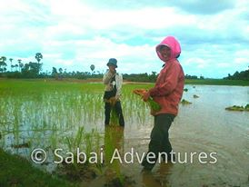 Cambodian rice fields