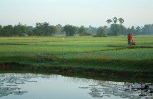 Battambang rice fields